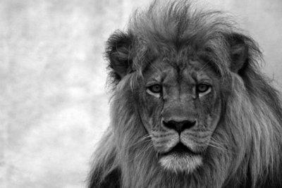 Serious Lion b/w
