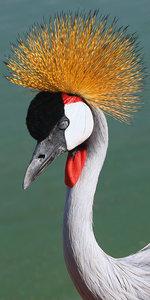 Crowned crane beautiful