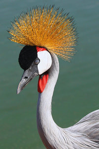 Crowned crane beautiful