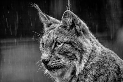 Lynx in Black and White