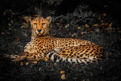 Leopard B&W Background