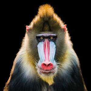 Male Mandrill - Ape
